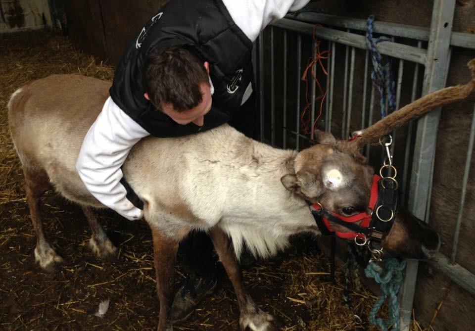 Reindeer Whisperer Antler Removal