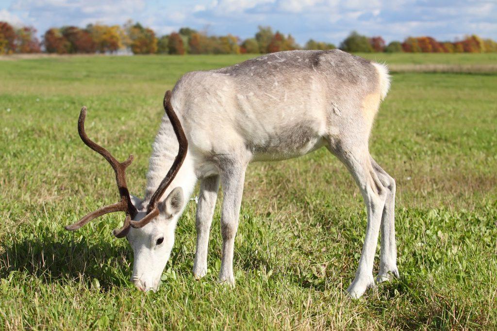 Reindeer Nuts from Reindeer Whisperer